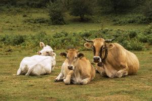 Adriana Gallinella | Mucche al pascolo | Morcone