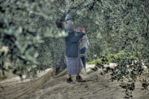 Rodolfo Tagliaferri | Raccolta delle olive | Sassinoro