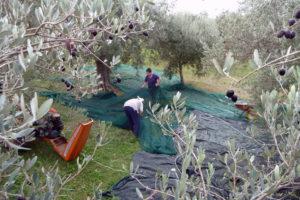 Pietro Iamartino | Raccolta delle olive | Faicchio
